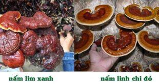 So sánh ưu nhược điểm nấm linh chi đỏ và nấm lim xanh 9