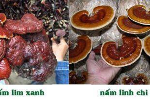 So sánh ưu nhược điểm nấm linh chi đỏ và nấm lim xanh 35