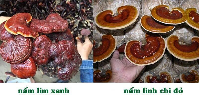Nấm Linh Chi đỏ và nấm Lim Xanh đều tốt cho sức khỏe